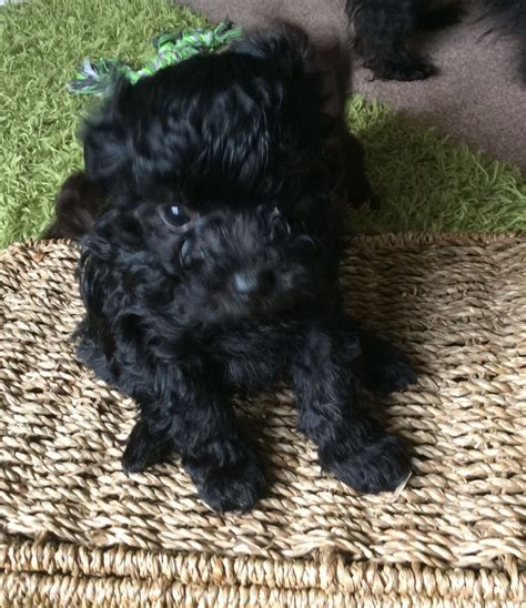 bolonka puppies russian tsvetnaya bolonka puppies derby derbyshire pets4homes