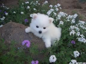 American Eskimo Dog puppy photo and wallpaper. Beautiful ...
