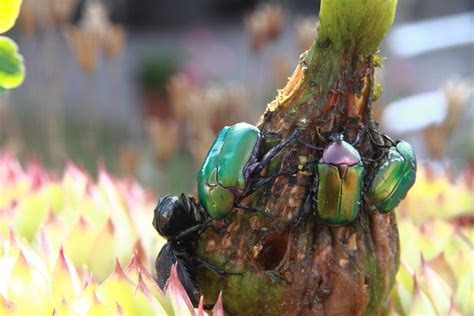 coleotteri in casa coleotteri in giardino juzaphoto