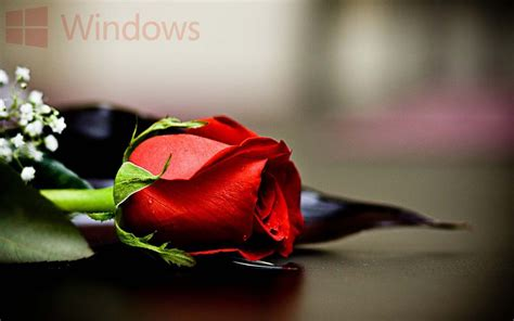 rose themes for windows 8 red rose windows 10 wallpaper free wallpaper download