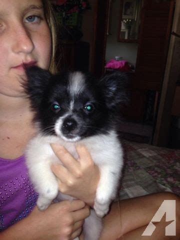 pomeranian puppies for sale in sacramento ca maltese pomeranian mix for sale in sacramento california classified americanlisted