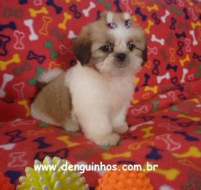 shih tzu puppies ri shih apso ri breeds picture