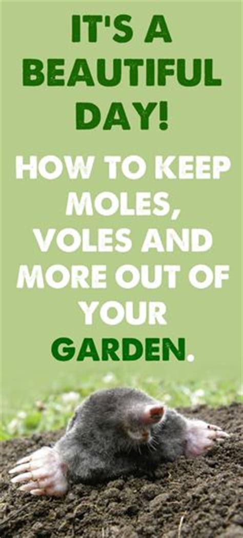 Will Landscape Fabric Keep Moles Out 1000 Images About Vole And Other Garden Pests On