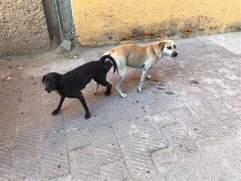 sexo mujer con perro quedan pegados 191 por qu 233 los perros se quedan pegados acapulco guerrero