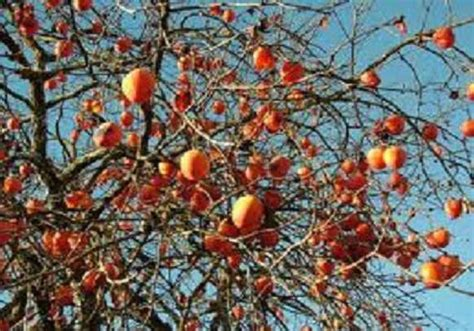 2 american persimmon trees good root system guaranteed to