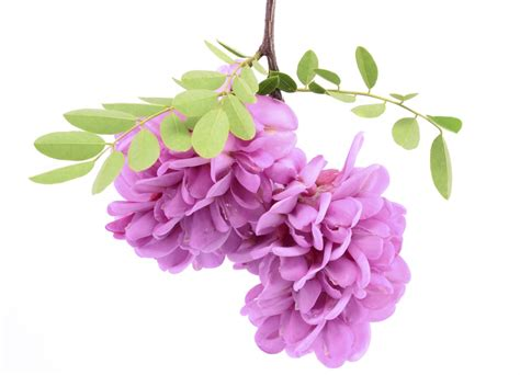 Pink List White list of flower names with their meanings and alluring pictures