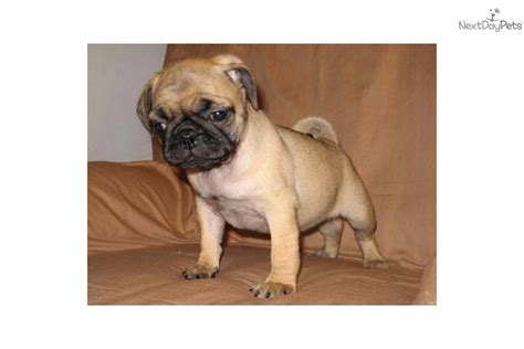 common pug names pug names ajilbabcom portal breeds picture