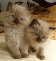 ragdoll cat colors sealmink ragdoll kitten cats ragdoll