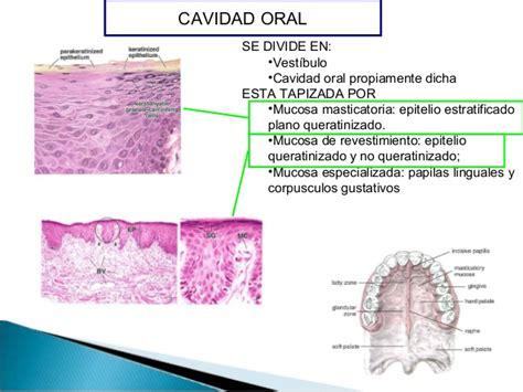 vestibulo biliar histologia normal sistema digestivo