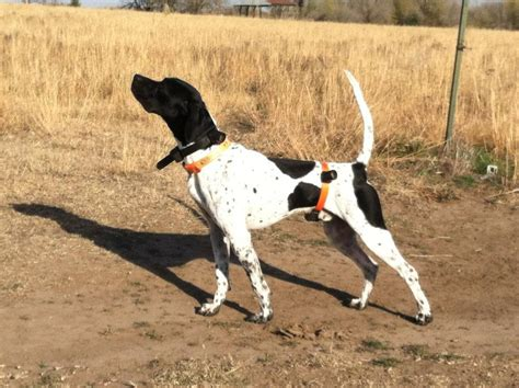 types of bird dogs types of pointer bird dogs breeds picture