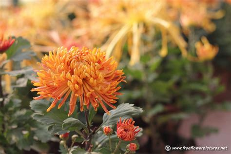 image for flowers chrysanthemum picture flower pictures 6220