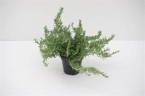 rosmarino prostrato in vaso piantare rosmarino aromatiche consigli per la