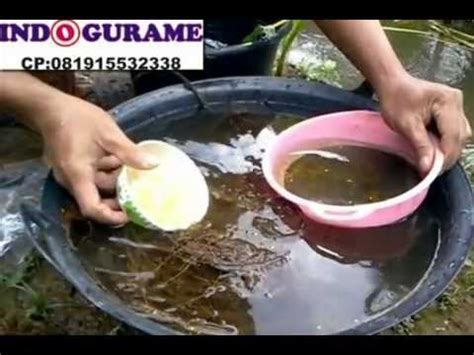 Jual Bibit Gurame Yogyakarta indogurame jual telur gurame jual benih ikan gurame jual bibit ikan gurame 081915532338