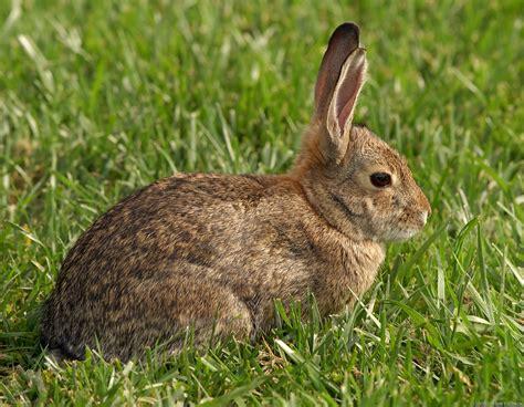 rabbit bunny rabbit the animals kingdom
