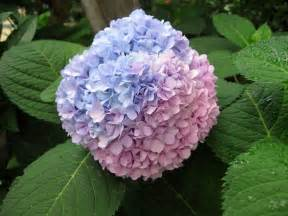 hortensia flower photos images