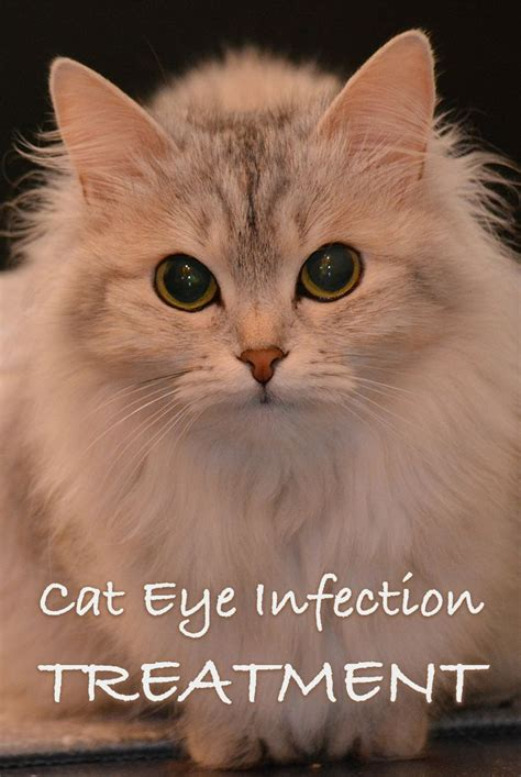 can you use human eye drops on dogs the 25 best cat eye infection ideas on eye infection in dogs eye