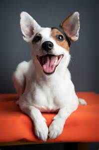 Jack russell terrier breed information pet365