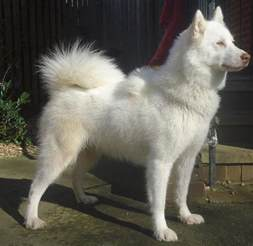 canadian eskimo dog pictures wallpapers9