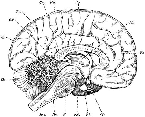 anatomy of the brain coloring book brain anatomy free coloring pages on coloring pages