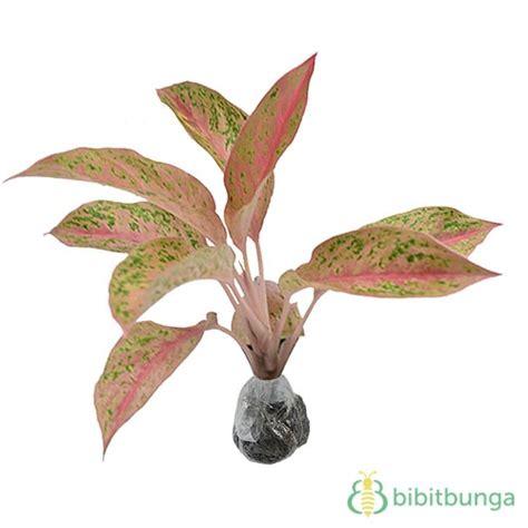 Tanaman Aglaonema Heng Heng Aglonema Hengheng tanaman aglaonema proserina bibitbunga