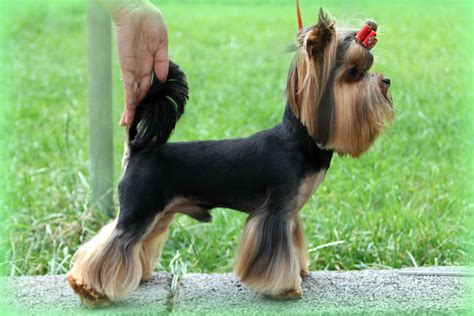 mini yorkie terrier miniature terrier for stud kc registred rotherham south