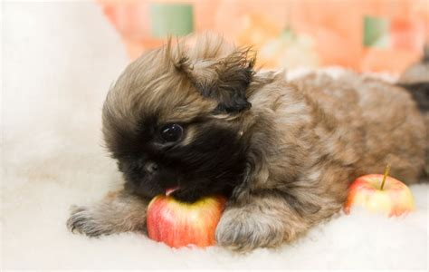 is it ok for dogs to eat cat food can dogs eat apples is it safe for dogs to eat apples fallinpets