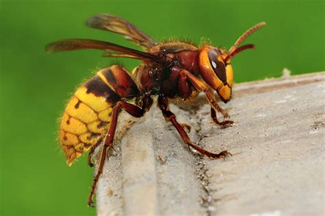 8 Tips On Getting Rid Of Yellow Jackets by How To Get Rid Of Yellow Jackets Effective Non Toxic