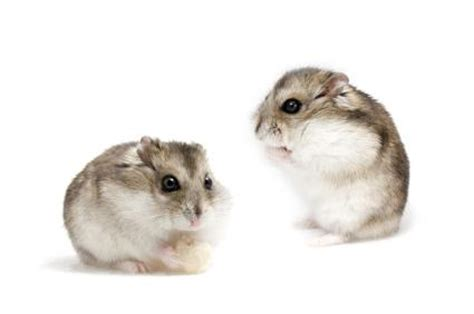 Pets At Home Small Animals Hamster Care Sheet