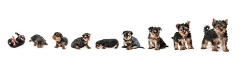 when does a yorkie stop growing yorkie growth chart and terrier development stages yorkie