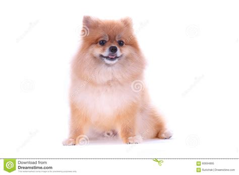 white and brown pomeranian dogs brown pomeranian on white background stock photo image 60694895