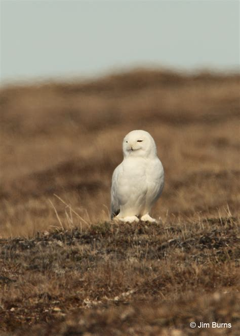 snowy owl male in tundra heat waves