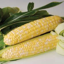 Bibit Benih Biji Jagung Jerry Petersen Blue benih jagung ungu purple corn