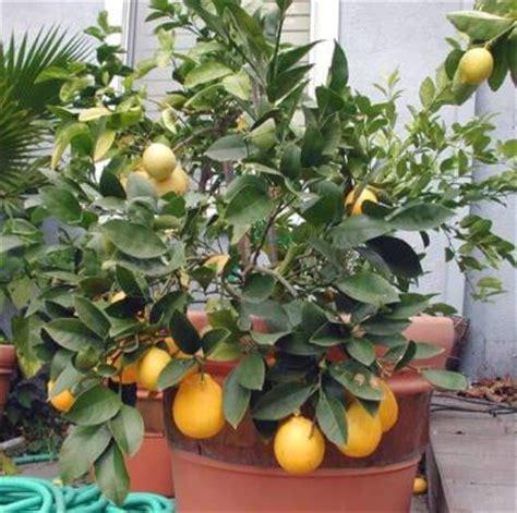 cura dei limoni in vaso il limone consigli per la cura verdeblog