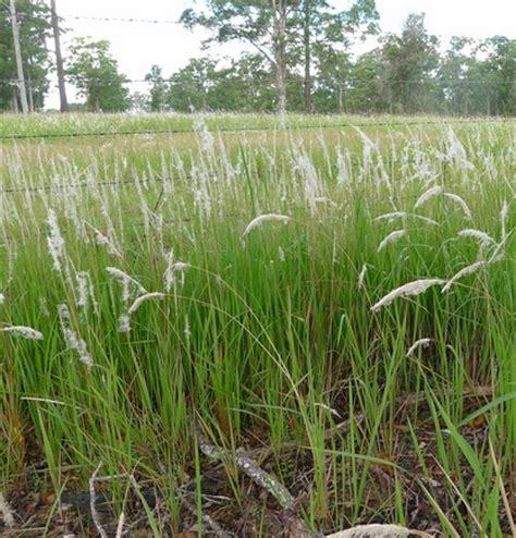 Herbilogy Cogon Grass Alang Alang tanaman alang alang bibitbunga