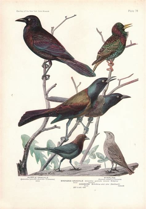 grackles starlings and cowbirds natural science