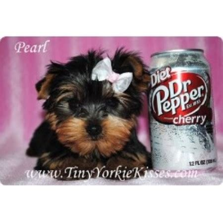 teacup yorkie rescue nc teacup yorkie in greensboro nc breeds picture
