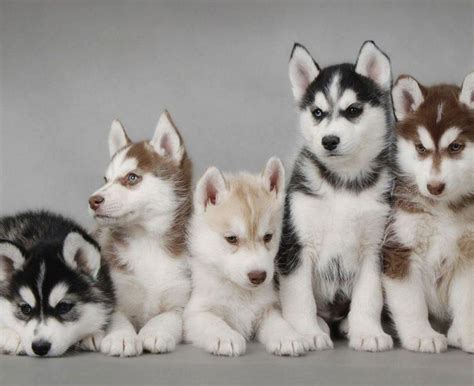 sonrise kennels siberian huskies home