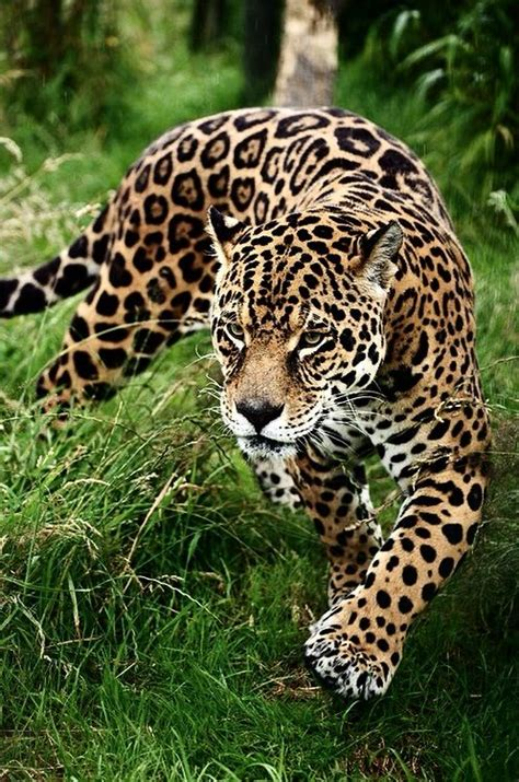 imagenes animadas de un jaguar el jaguar es un animal majestuoso animales pinterest