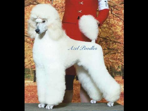 central indiana poodle rescue azel standard poodles poodle puppies for sale