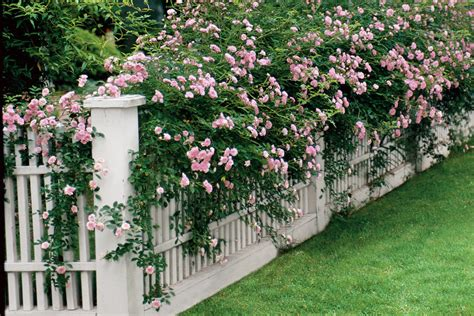 climbing roses easy growing flowers for fences