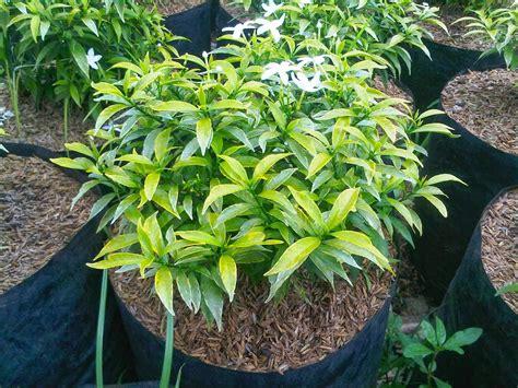 Lu Hias Untuk Pohon cara budidaya tananam hias bunga rombusa kebun net