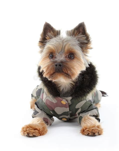 what is the best yorkie terrier shoo out there and condistioner yorkshire terrier in winter clothes stock image image