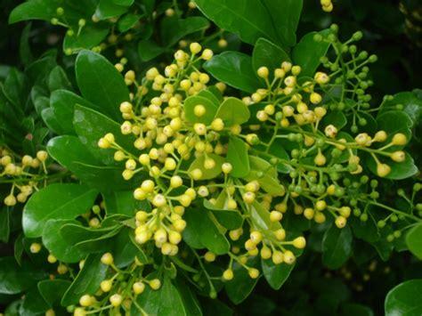 manfaat daun pacar cinapengobatan alami asli tanaman asia