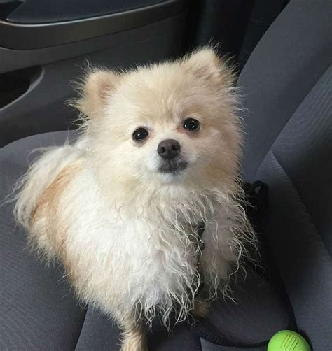 pomeranian with no hair 10 things only a pomeranian owner would understand american kennel club