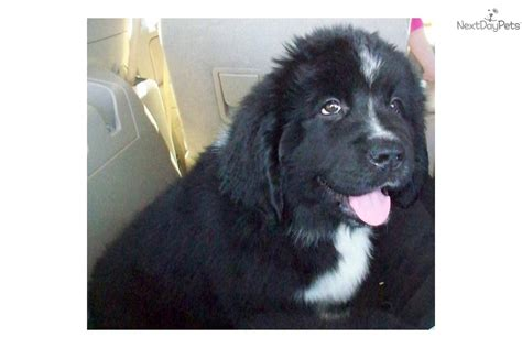 newfoundland puppies mn gray newfoundland puppy for sale breeds picture