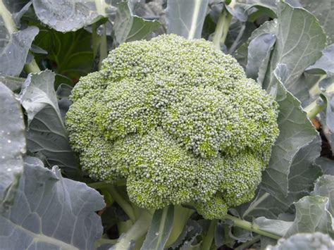 Broccoli Plant Pictures