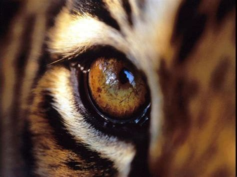 1000 images about tiger eye on pinterest
