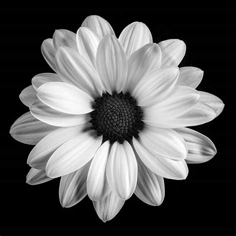 black and white daisy wallpaper royalty free black and white daisy pictures images and