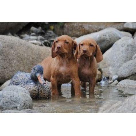 vizsla puppies california vizsla breeders in the usa and canada freedoglistings page 1