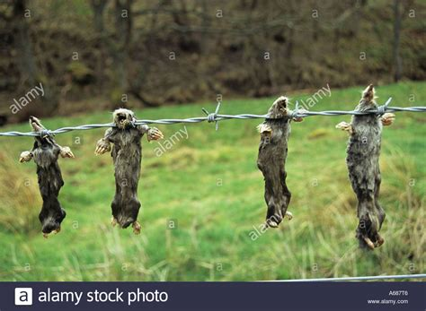 hanging photos on wire dead moles hang on barbed wire fence in northumberland